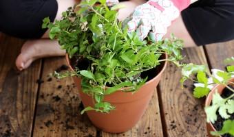 Maria's New Hobby: An Herb Garden
