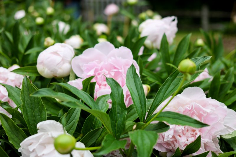 Nichols Arboretum Peony Garden | Crazy Together blog